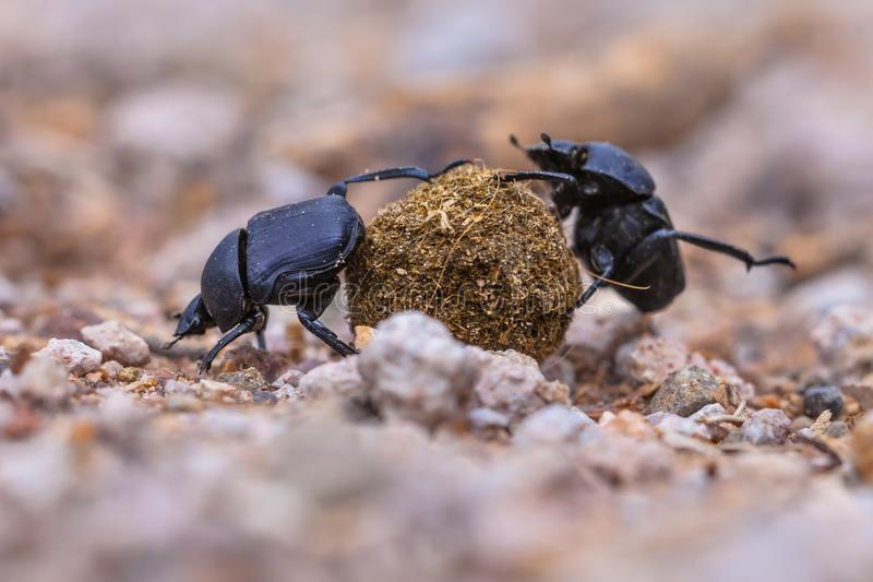 moiling strong dung beetles facing challenges royalty free stock image
