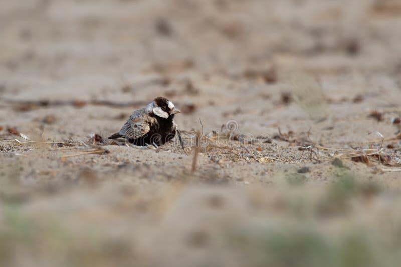 Moineau-alouette Noir-couronnée - nigriceps d'Eremopterix dans le désert de la vue de boa image stock