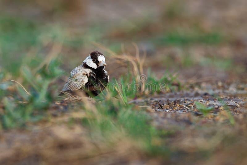 Moineau-alouette Noir-couronnée - nigriceps d'Eremopterix dans le désert de la vue de boa photos libres de droits