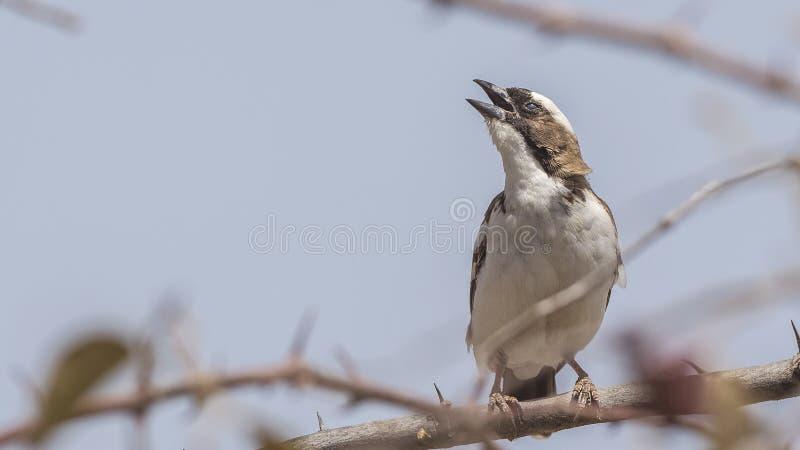 moineau Blanc-browed Weaver Singing photos libres de droits