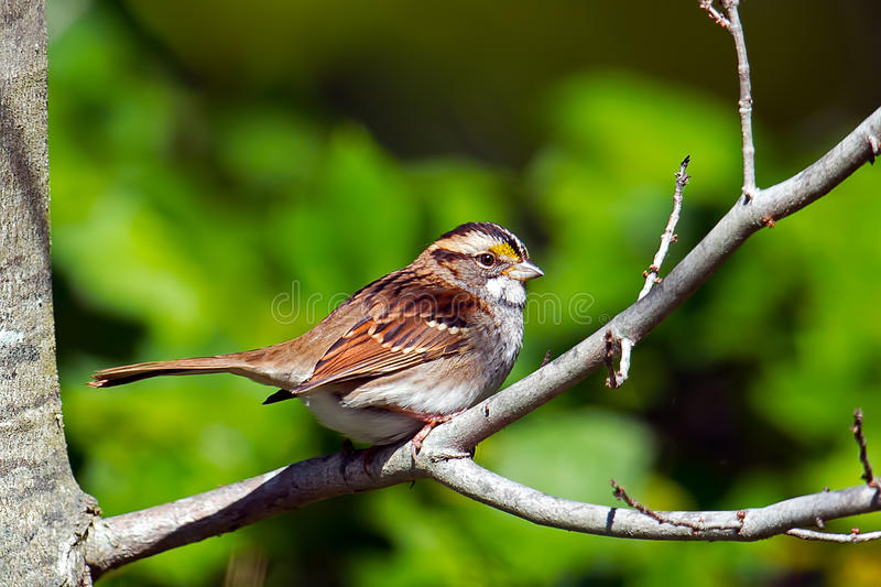 Moineau Blanc-Throated images stock
