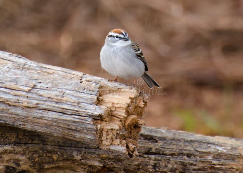 Download Moineau d'ébrèchement image stock. Image du poule, ornithologie - 77153945