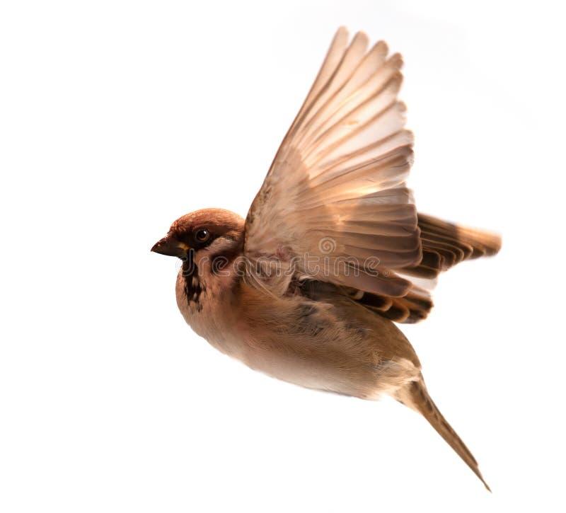 Moineau d'oiseau de vol d'isolement sur le blanc photo stock