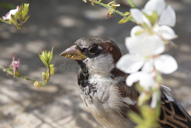 Moineau de Chambre mangeant des fleurs de fleur au printemps photographie stock libre de droits