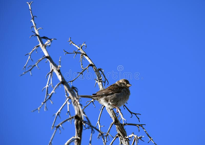 Moineau de Chambre sur la branche contre le ciel bleu - domesticus de passant photo stock