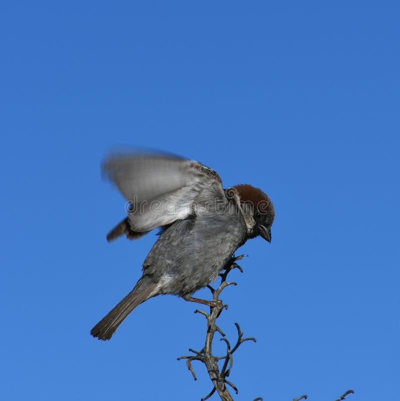 Moineau de Chambre sur la branche contre le ciel bleu - domesticus de passant images stock