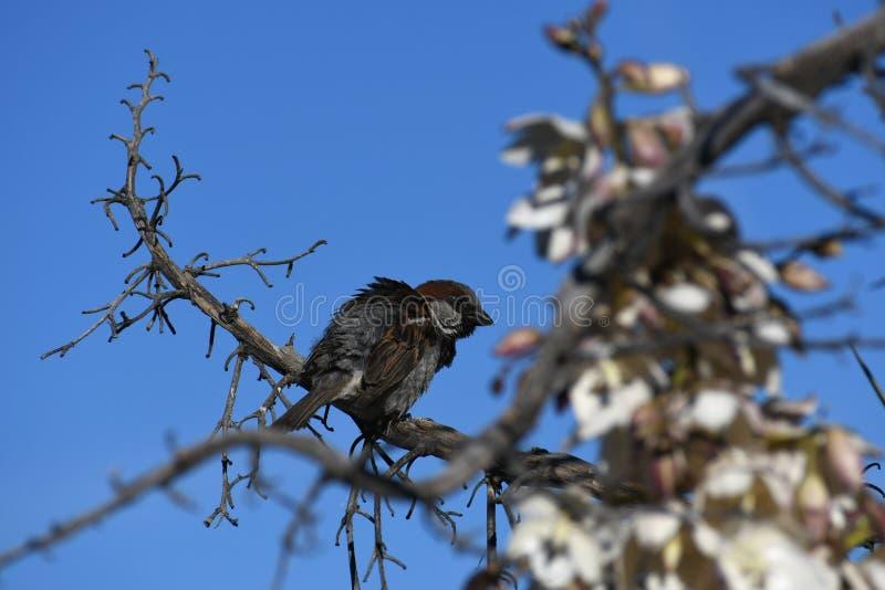 Moineau de Chambre sur la branche contre le ciel bleu - domesticus de passant image stock