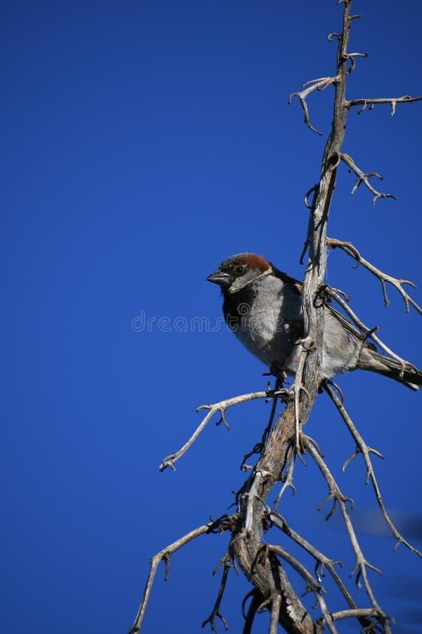 Moineau de Chambre sur la branche contre le ciel bleu - domesticus de passant image libre de droits