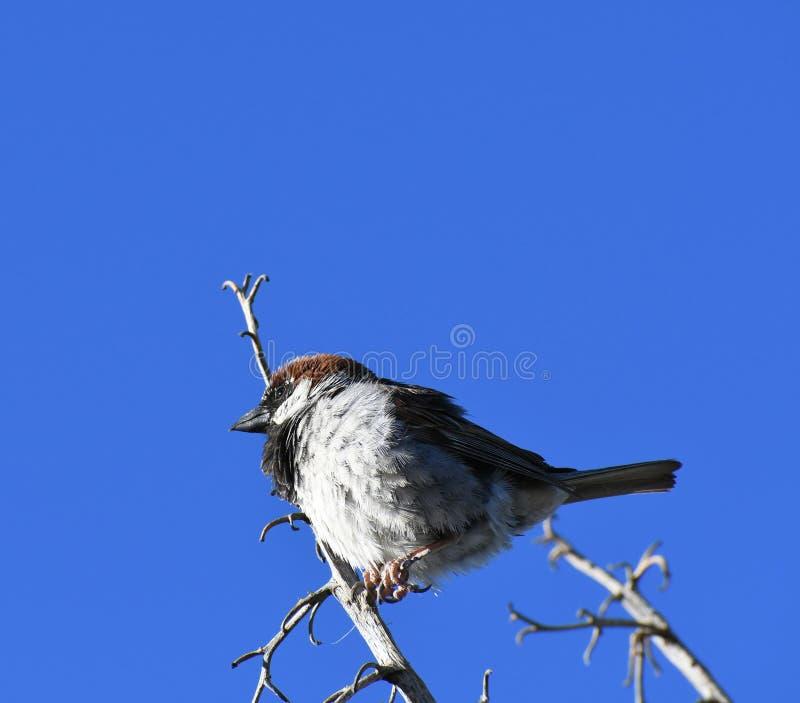 Moineau de Chambre sur la branche contre le ciel bleu - domesticus de passant photos stock