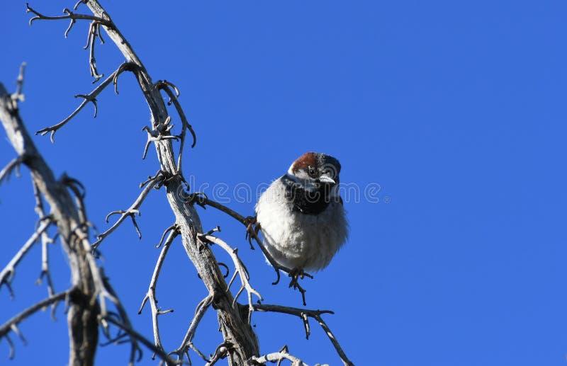 Moineau de Chambre sur la branche contre le ciel bleu - domesticus de passant photo libre de droits