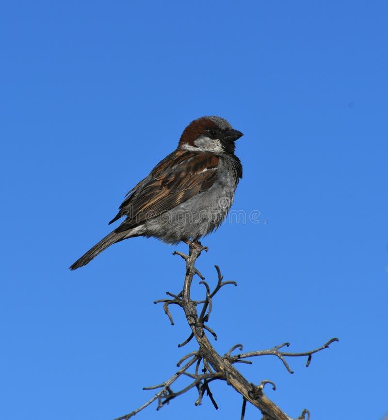 Moineau de Chambre sur la branche contre le ciel bleu - domesticus de passant photographie stock