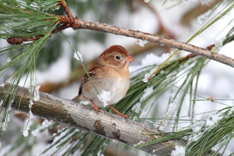 Moineau de champ (pusilla de Spizella) sur la branche couverte de neige d'A photo stock