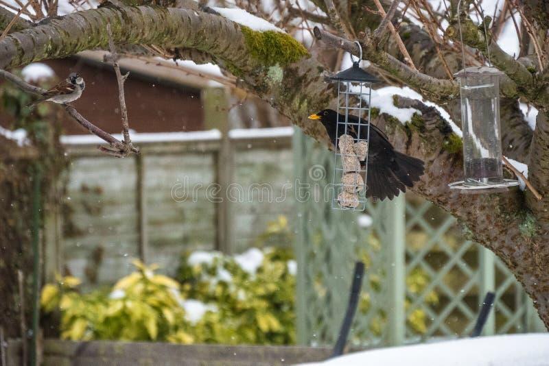 Moineau de maison masculin et merle commun sur une branche d'arbre et conducteur en hiver photographie stock libre de droits