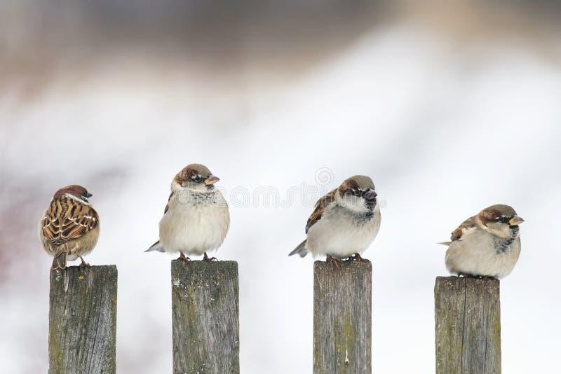 moineau drôle d'oiseaux se reposant sur une vieille barrière en bois et regardant dans différentes directions photo libre de droits