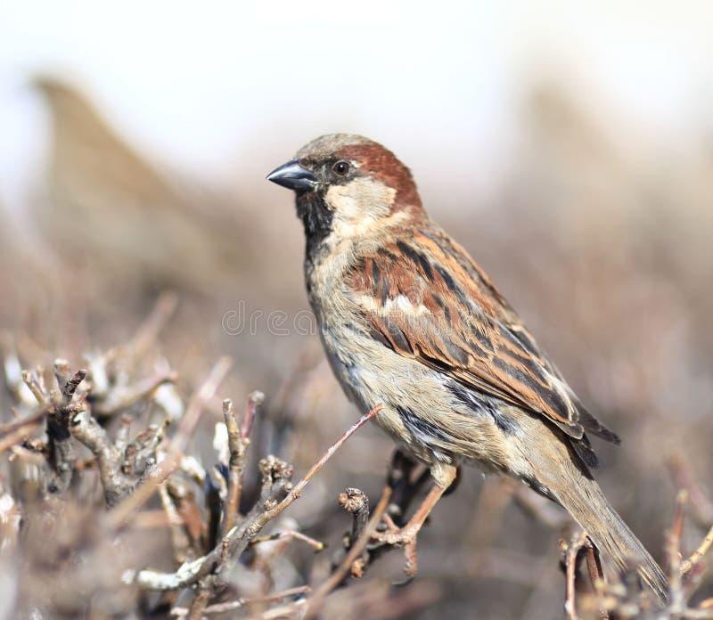 Moineau en zoologie d'hiver d'aile de faune de buissons photographie stock libre de droits