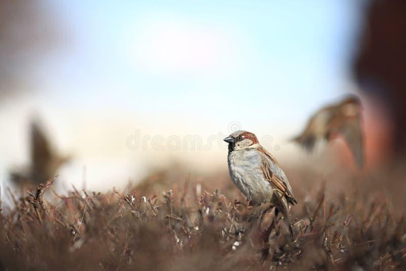 Moineau en zoologie d'hiver d'aile de faune de buissons image stock