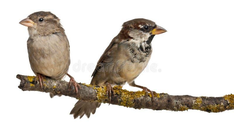 Moineau mâle et femelle de Chambre, passant image stock