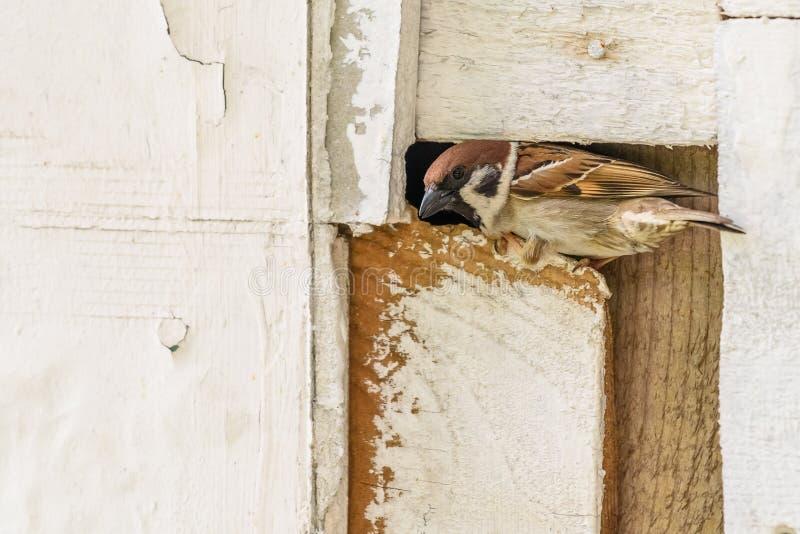 Moineau minuscule sur la barrière en bois photo libre de droits