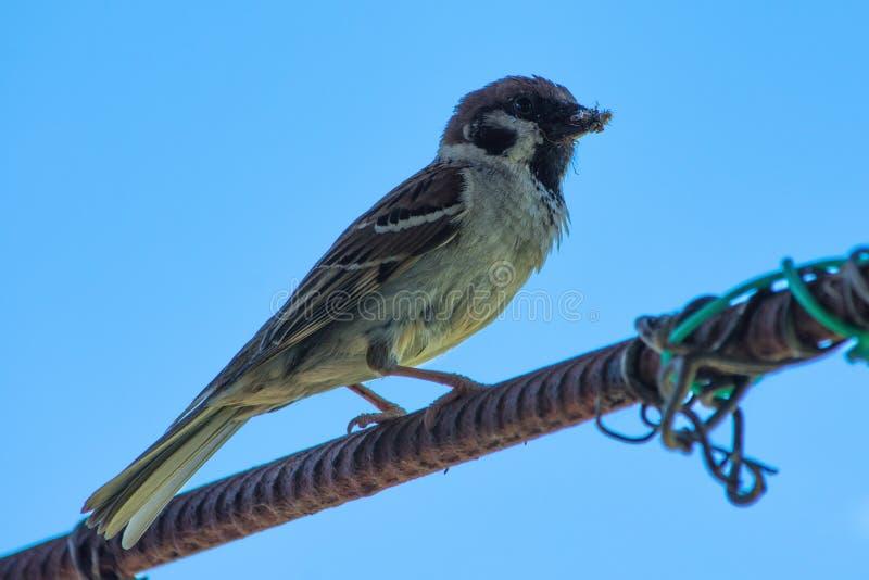Moineau se reposant sur l'armature sous le beau ciel bleu Oiseaux urbains image libre de droits