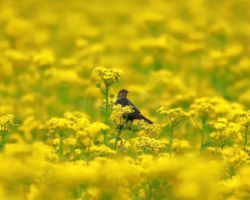 Moineau solitaire été perché dans un domaine de mauvaise herbe de beurre photo stock