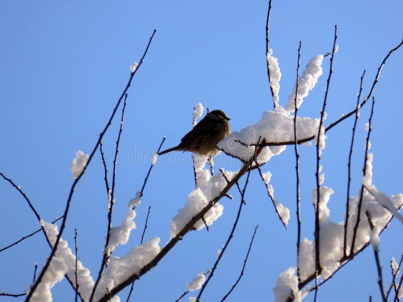 Moineau sur une branche d'arbre dans l'horaire d'hiver photo stock