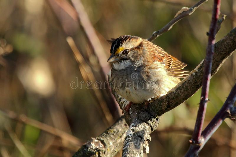 Moineau throated blanc images stock