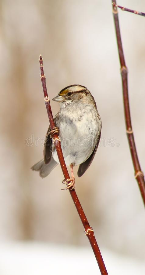 Moineau throated blanc photographie stock