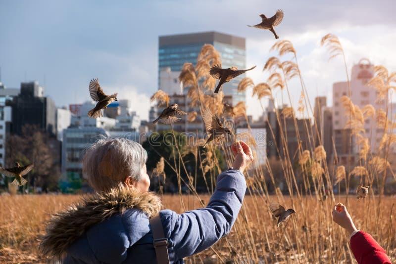 Moineaux de alimentation de femme plus âgée de sa main avec des graines en parc d'Ueno à l'heure d'or photo libre de droits