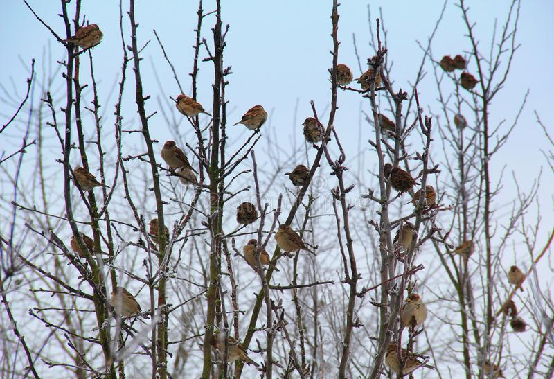 Moineaux sur l'arbre figé photos stock