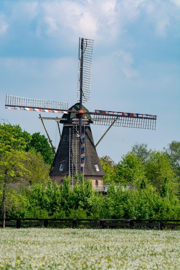 Moinho de vento e pasto velhos com as flores de floresc?ncia selvagens, paisagem holandesa do campo foto de stock royalty free