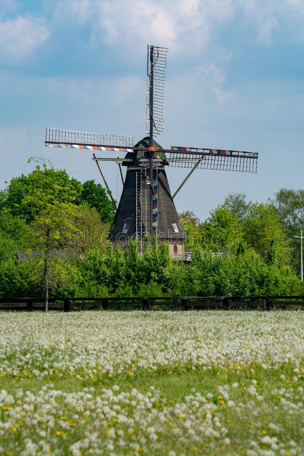 Moinho de vento e pasto velhos com as flores de floresc?ncia selvagens, paisagem holandesa do campo fotografia de stock