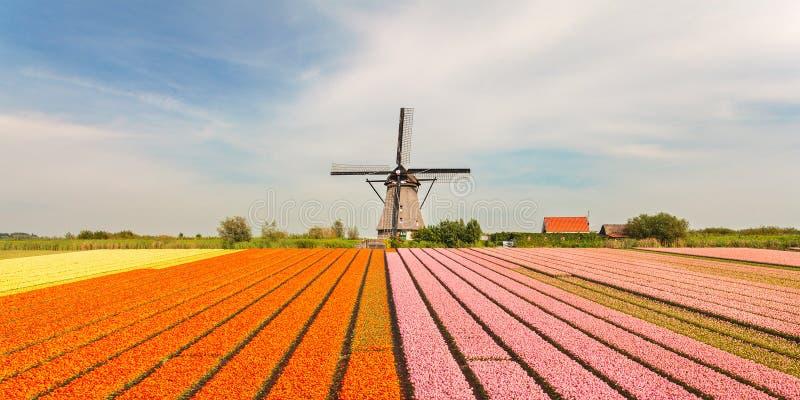 Moinho de vento holandês velho com as tulipas de florescência na parte dianteira imagens de stock royalty free