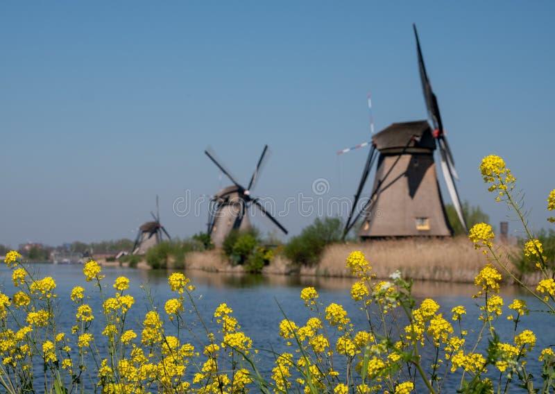 Moinhos de vento históricos com as flores da mola no primeiro plano em Kinderdijk, Holanda, Países Baixos, um local do patrimônio fotografia de stock royalty free