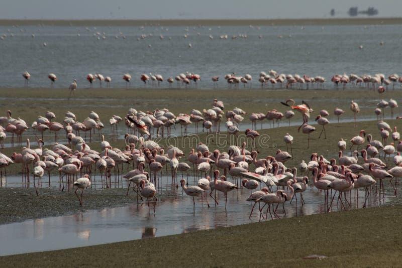 Moins de flamant à la baie Namibie de Walvis photo libre de droits