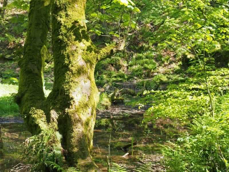 Moisés cobriam o tronco de uma árvore em frente a um córrego de floresta pantanoso com folhagem vibrante e luz solar brilhante br imagens de stock