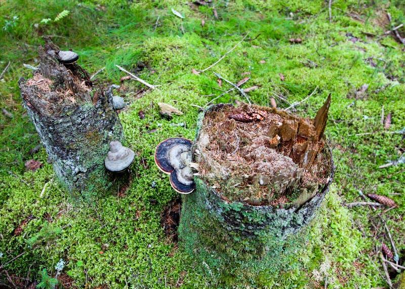Moisés em um toco de árvore com cogumelo fotografia de stock royalty free