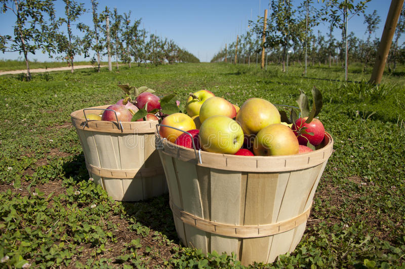 Moisson de fruit image stock