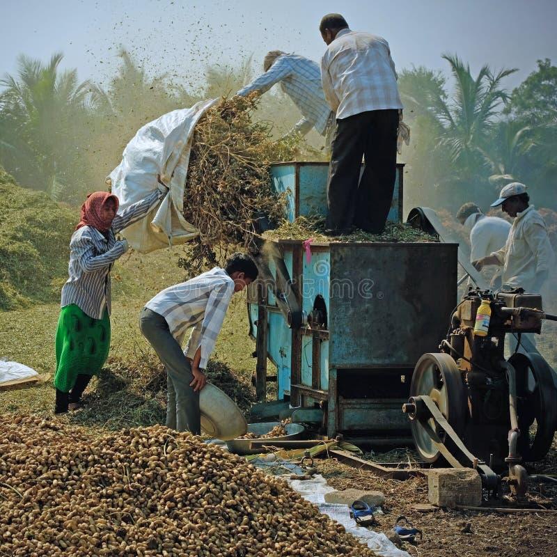 Moisson de la culture d'arachide au Goudjerate photos libres de droits