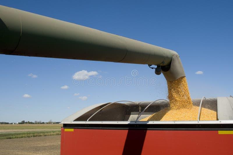 Moisson de maïs photographie stock libre de droits