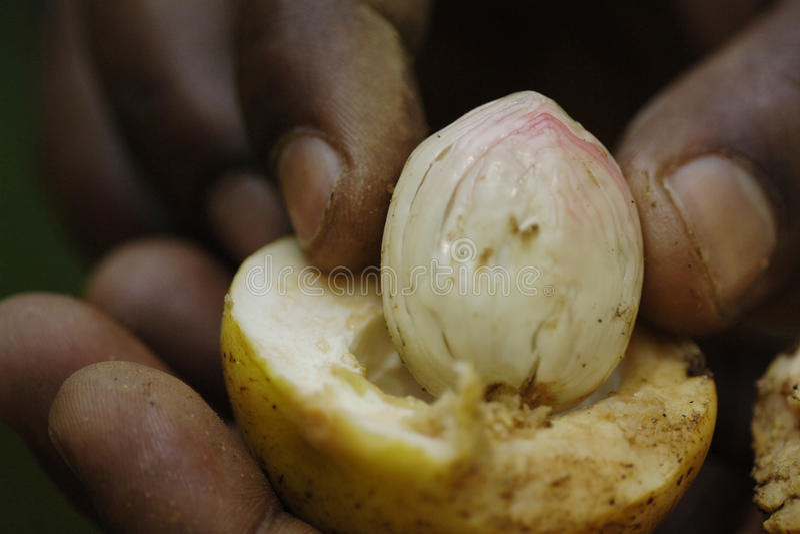 Moisson de noix de muscade photo stock