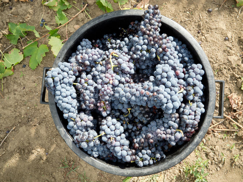 Moisson de raisin
