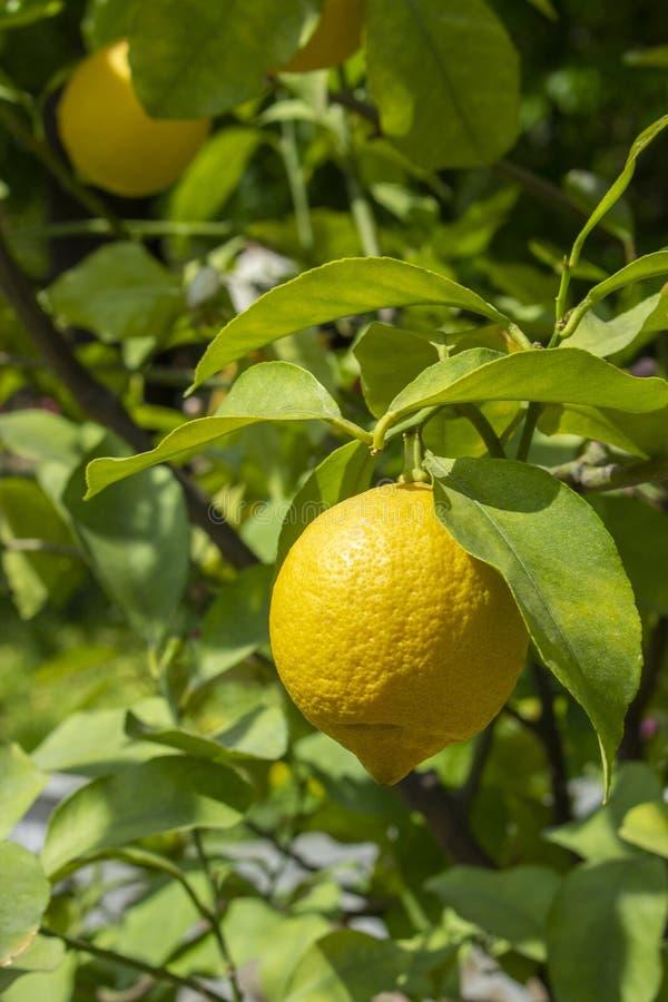 Moisson des citrons, citron m?r accrochant sur une branche avec des feuilles un jour ensoleill? Citronnier d'agrume avec des frui photo libre de droits