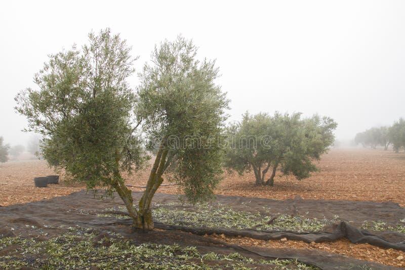 Moisson des olives dans un matin froid brumeux en La Mancha de la Castille, l'Espagne photographie stock libre de droits