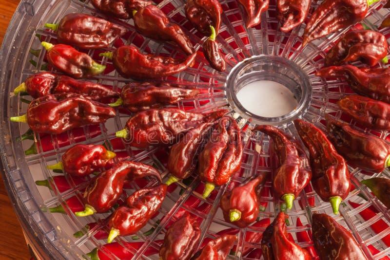 Moisson des poivrons de piments Préparation à sécher l'assaisonnement épicé Dessiccateur électrique de nourriture image libre de droits