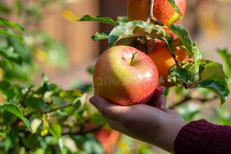 Moisson des pommes dans le jardin, saison de récolte d'automne dans l'orch de fruit images libres de droits