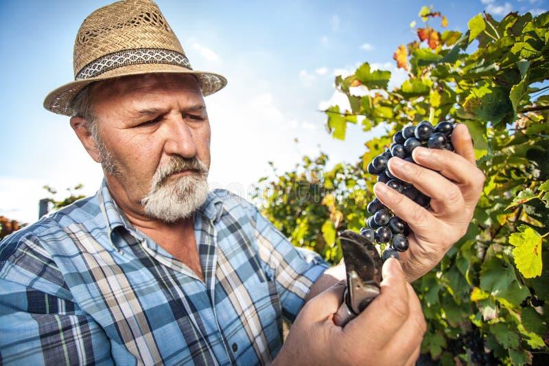 Moisson des raisins dans le vignoble photographie stock libre de droits