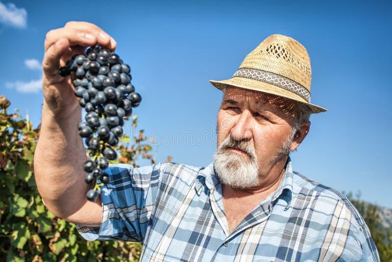 Moisson des raisins dans le vignoble image stock
