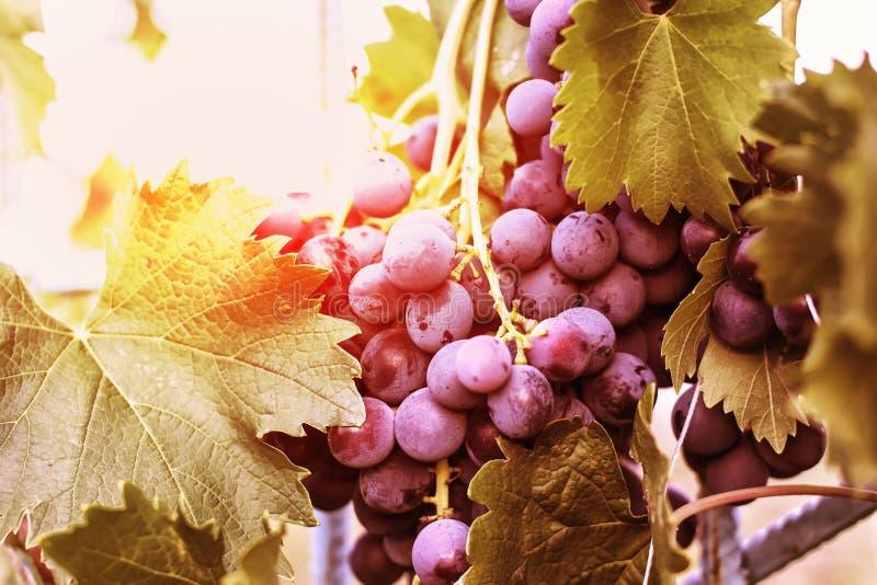 Moisson des raisins mûrs, raisins de vin rouge sur la vigne dans le vignoble, photo libre de droits