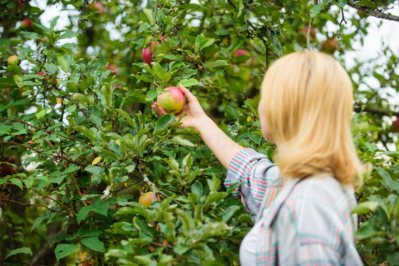 Moisson du concept de saison Fond de jardin de pomme de prise de femme Produit naturel organique de produits agricoles Style rust images libres de droits