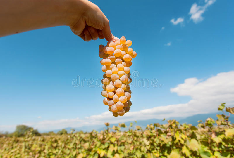Moisson en vallée des raisins Groupe de raisins juteux dans la main du ` s d'agriculteur et le ciel bleu sur le fond photographie stock libre de droits